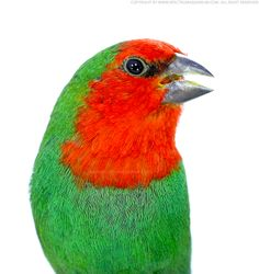Red-faced parrot finch