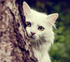 Tier Bild - Weiß-Bilder, Katze Hintergrundbilder, Ausschau Vektor, flauschige Hintergründe, Baummaterial Hintergrund 1080x960 Tier Wallpaper