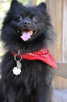 Rambo the wonder dog. (black Pomeranian) Figured he should have some presence in my Dog Sh*t section. Cause it's for him. Well, really for me. Okay, this is so boring it may shut down Pinterest. Or the site may change it's name to Pore.