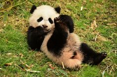Bao Bao - Panda cub, doing her pandalates