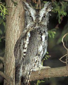 Eastern Screech-Owl   Audubon Field Guide