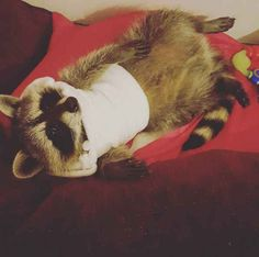 This is Cody. Cody is a North American raccoon living in Stevenage, England.