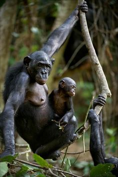 "Bonobo mother and baby. ""Not surprisingly, amongst the primates only bonobos have well-developed breasts similar to those of female humans presumably due to their emphasis on nursing."" biologist Jeremy Griffith (www.worldtransformation.com/freedom-book1-bonobos-evidence-whole-love-indoctrination-process/)"