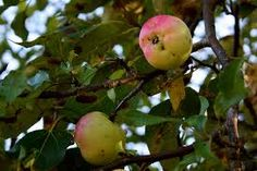 wild apples - odd shapes and each tree will taste different - seek out your favourites along country paths where cores have been dropped! Weird Shapes, Free Food, Apples, Paths, Canning, Fruit, Country, Rural Area, Country Music
