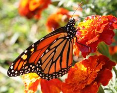 29ee5866d 25 Best Monarchs and Marigolds images in 2013 | Butterflies ...