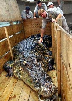 Steve Irwin with the largest captive crocodile in the world