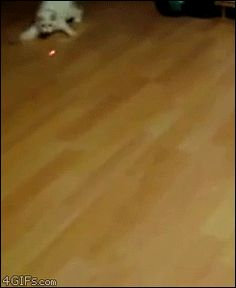A collection of animals chasing laser pointers, featuring... - Album on Imgur