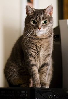 Cute Cats And Kittens, Baby Cats, Kittens Cutest, I Love Cats, Ragdoll Kittens, Bengal Cats, White Kittens, Pretty Cats, Beautiful Cats