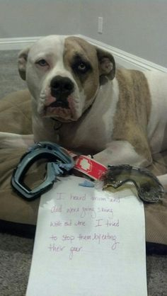 """""""I heard mom and dad were going skiing without me. I to stop them by eating their gear."""" ~ Dog Shaming Pit Bull anxiety"""