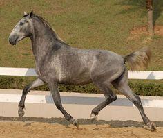 Admirável do Vouga - Lusitano horse