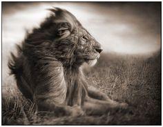 El león tiene un rugido muy potente capaz de oirse a más de 8 km de distancia. Con su poderoso rugido, el león avisa a los intrusos que se encuentran dentro de su territorio o le sirve para comunicarse con los miembros de su clan.