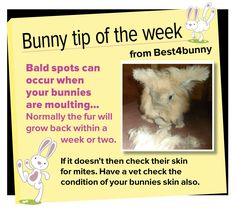 Bunny tip week 8 - Bald spots can occur when your bunny is moulting and will normally grow back within a week or two.