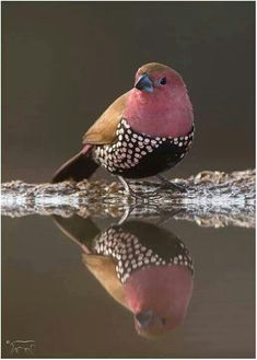 Male Pink Throated Twinspot {Africa}. Photo by Charl Senekal.