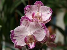10 Phalaenopsis Moth Orchid Flower Seeds Pink Flower USA Seller! FREE Shipping!