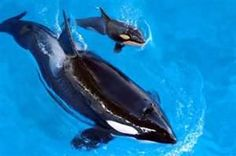 Recently the death of Dawn Brancheau at Seaworld while working with their Killer Whale names Tilikum has brought the usage of these animal. Orcas In Captivity, Mother And Baby Animals, Baby Whale, Wale, Killer Whales, Sea World, Marine Life, Sea Creatures, Under The Sea