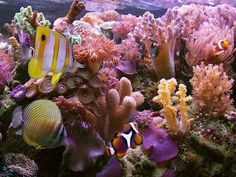 Corais do Pacifico