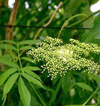 Elderberries (Sambucus, spp.) growing - report fron Cornell University