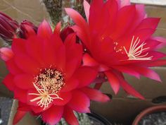 Cactus flowers :)  About the size of your fist.