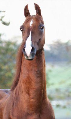Call Me Ringo, American Saddlebred