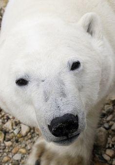 this-is-wild: Polar Bear (Claudio Corradini)
