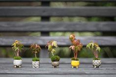 Mini maple bonsai