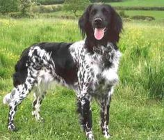 I had a Large Munsterlander as a foster dog once. I'd love to have one when I grow up.