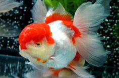Beautiful R/W oranda.. To study more about goldfish, please visit http://goldfishkeepers.com http://goldfishkeepers.com/forum for discussion with experience breeder.. Follow our twitter at https://twitter.com/GoldfishKeepers FYI. This is not our fish. We just saved the impressive goldfish picture around the world for collection.