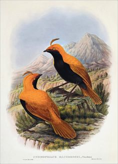 Richard Bowdler Sharpe_ Birds of paradise 26