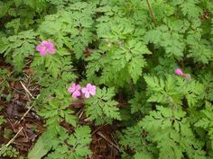 Herb Robert ~ Grows profusely in my garden, I love to drink it as a tea. Has many health giving properties.