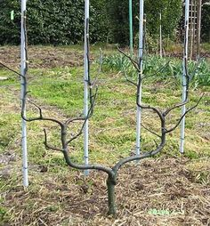 1000 images about gardening cordons espaliers and fans on pinterest fruit trees espalier. Black Bedroom Furniture Sets. Home Design Ideas