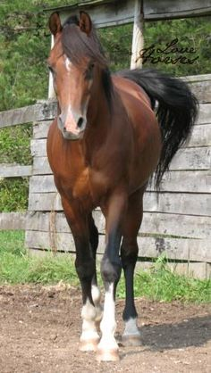 A bay Arabian with some chrome. Pretty much what my dream horse is looking like these days.