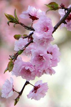 Beautiful Flowers Wallpapers, Beautiful Rose Flowers, Beautiful Nature Wallpaper, Amazing Flowers, Pretty Flowers, Pretty Flower Pictures, Blossom Garden, Blossom Trees, Spring Blossom