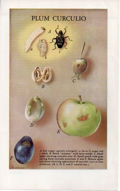 Plum Curculio K.A. Ushman Insect art illustration by cocoandmilou, $11.00