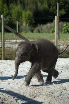 Asian Elephant Facts Ringling Bros. and Barnum Bailey Asian Elephant Sanctuary