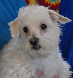 Passion is a humble, bashful little lady who longs for love.  She is a Toy Poodle mix, about 8 years of age, spayed, and debuting for adoption today at Nevada SPCA (www.nevadaspca.org).  Passion is recovering from neglect, so she craves your attention and adoration.  She is good with other dogs and best with calm people.
