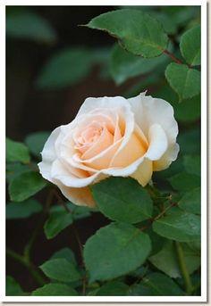 Grandiflora Hybrid Tea Rose: Rosa 'Cream Delight' AKA 'Darling' (N.Z., 1981)