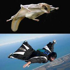 Flying Squirrel - WingSuit #Biomimesis #Biomimetica #Biomimicry