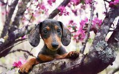 Télécharger fonds d'écran Teckel Chien, le printemps, les animaux de compagnie, chiens, museau, des animaux mignons, le Teckel
