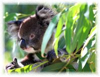 Eucalyptus opens the lungs and encourages breathing, clears clogged nasal passages and bronchial congestion making eucalyptus one of the best known cold remedies.