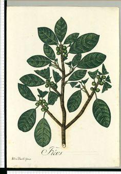 Ficus / Silva [Antonio de Silva]