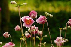 HøstAnemone er en av hagens vakreste blomstrer og de blomstrer gjerne på en tid da det ikke er så mange andre planter som viser seg fra sin beste side.