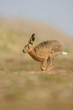Brown Hare by Benjamin Joseph Andrew, via Flickr