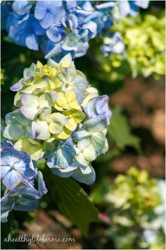 How To Grow Hydrangea- A Healthy Life For Me