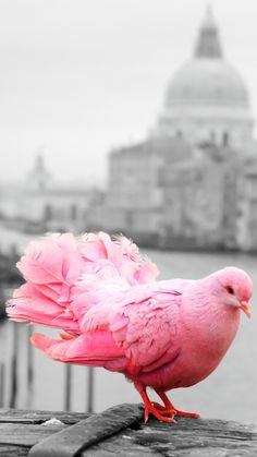 Pink pigeon they nearly went extinct in the - Dogs Are Awsome - Cute Pigeon, Baby Pigeon, Pink Pigeon, Pink Animals, Rare Animals, Animals And Pets, Cutest Animals, Pretty Birds, Beautiful Birds