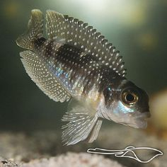 Lamprologus Stappersii Meleagris