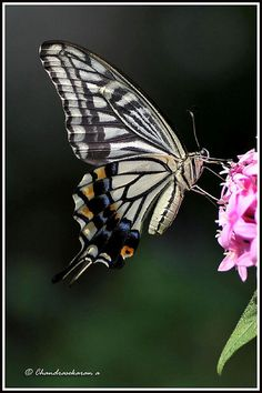 swallowtail. Endangered Species of the Everglades.