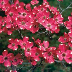 Cherokee Brave Dogwood (Cornus florida Comco No. 1) at Wayside Gardens