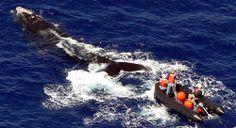 right whale, gear entanglement, disentanglement