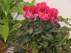 Цикламен – невероятно красивое растение, завоевавшее большую популярность в обществе цветоводов. Практически круглый год можно приобрести цветущие экземпляры этого восхитительного растения. Многие из них выращивают в комнате, некоторые в саду. Однако при выращивании цикламена в домашних условиях цве