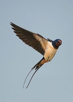 swallow in flight